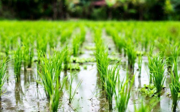 نقش آب در گیاه برنج